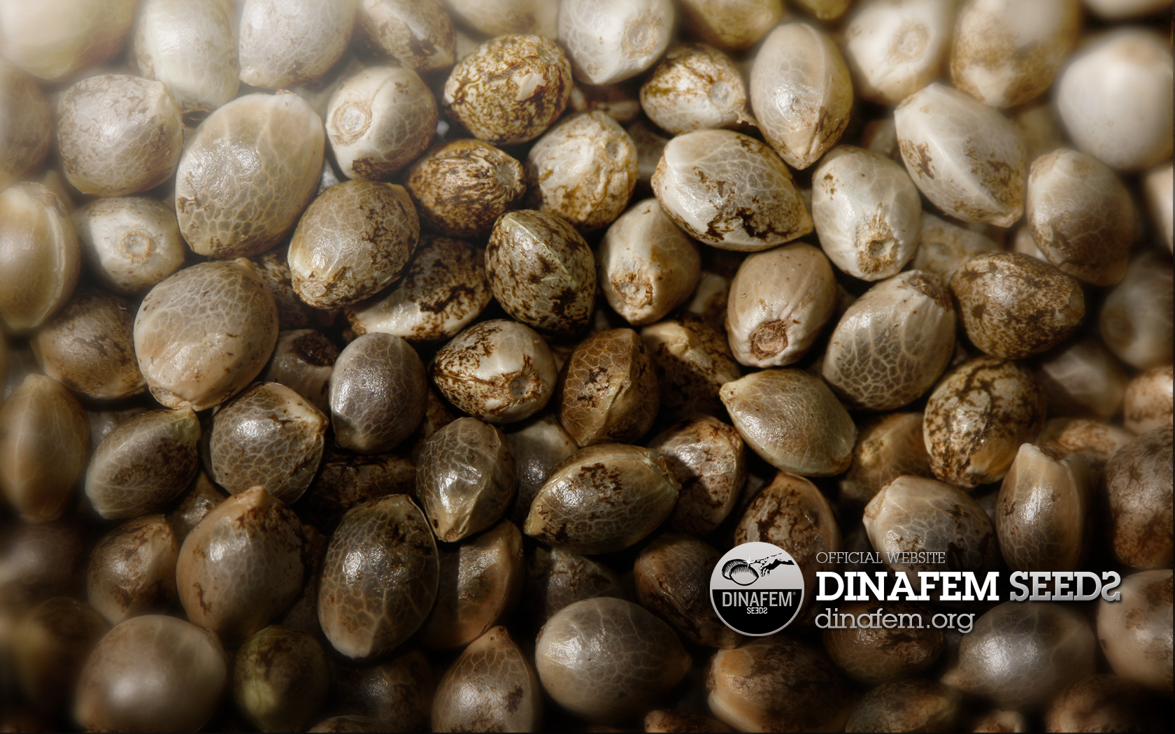 The Pros And Cons Of Inferior High Yield Autoflower Seeds