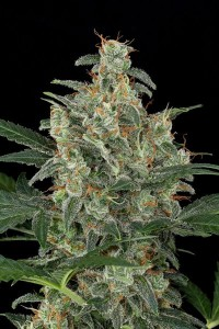 Cheese-autoflowering