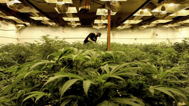 Australian Government is preparing to announce a cannabis 'cultivation trial' in Victoria.