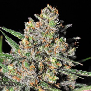 Green Love Potion is one of the best Samsara seeds strain