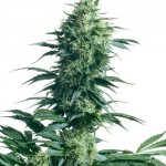 mother-s-finest-sensi seeds