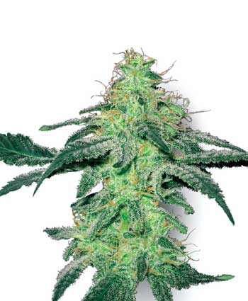 The White Label Seeds White Skunk